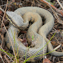 water moccasin - cottonmouth
