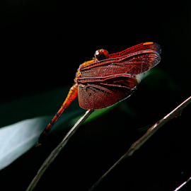 RED DRAGONFLY by Ronald Wahyudi - Animals Insects & Spiders