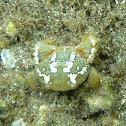 Crab. Cangrejo