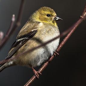 by Mike Watts - Animals Birds ( bird, flycatcher )