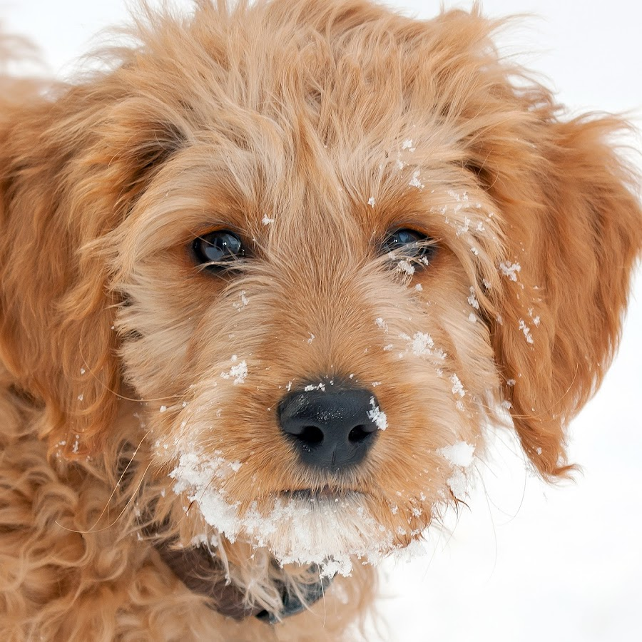 Golden Doodle  by Paul Brown Jr. - Animals - Dogs Portraits ( natural light, animalia, flakes, clean background, cute, close-up, portrait, canine, resting, nature, animal kingdom, cold, stand, pet, snow, golden doodle, mamal, zoology, dog, snow flakes, companion dog, natural, standing, animal, , #GARYFONGPETS, #SHOWUSYOURPETS )