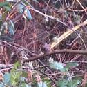 Song sparrow?