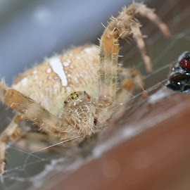 tiny spider with left overs by Gordon Mcallen - Animals Insects & Spiders ( nikon macro lens, nature, food, spider, small )