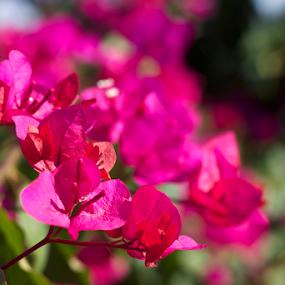 Bougainvillea petals by Md Mukibul Islam - Flowers Flower Gardens ( pink_petals, flower garden, bougainvillea, nature, flowers )