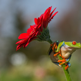 Frogs Style  by Kutub Macro-man - Animals Amphibians ( nature, red eye tree frog, amphibians, flower, animal )