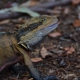 Wild Dragon by Kamila Romanowska - Animals Reptiles ( lizard, australia, dragon, wildlife, sydney, animal, water dragon )