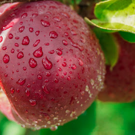 dewey apple by Trevor Hanson - Nature Up Close Gardens & Produce ( apple, macintosh, dew drops, picking apples, apple orchard,  )