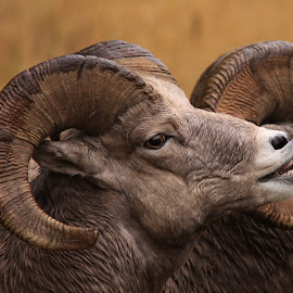 Bighorn Sheep by Diane Higdem - Animals Other Mammals ( ram, bighorn sheep, montana, wildlife, sheep,  )