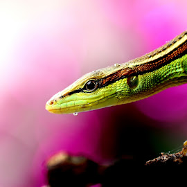 Lizard on the Edge by Irfan Yulianto - Animals Amphibians ( #animal #macro #lizard #edge #nature )