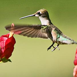Hummingbird and Shrimp Plaant by Jim Powell - Animals Birds ( hummingbird, backyard, shrimp plant )