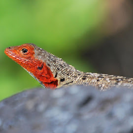Female Lava Lizard by Jerry Rawlings - Animals Reptiles