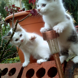 I want to be a Meercat! by Lyz Amer - Animals - Cats Kittens ( kittens,  )