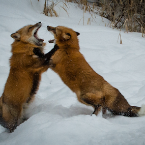 Fox Fight by John Klingel - Animals Other Mammals ( fox )