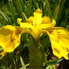Lirio amarillo, Yellow iris