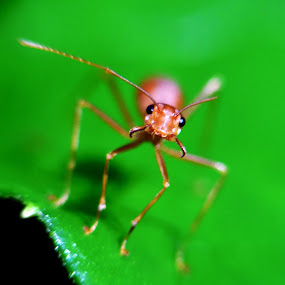 Angry Ant by Saurabh Gaikwad - Animals Insects & Spiders ( picoftheday, macrodaily, macro, macrophotography, nature, nature up close, ant, pickofftheday, macro shot,  )