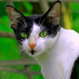 green eye by Asif Bora - Animals - Cats Portraits