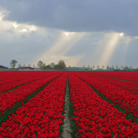 Flowers by Michel Van Kooten - Landscapes Prairies, Meadows & Fields ( bulb field, bulbs, tulips, rays, sun rays, netherlands, goeree, field, zuid-holland, holland, tulip, bulb, goeree-overflakkee, flowers, flower )