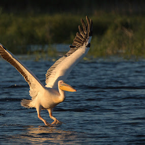 take-off by Sorin Tanase - Animals Birds ( delta, wildlife, romania, pelican, animal )