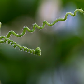 Tendril by Youssef Elboukhari - Nature Up Close Other plants ( up close, tendril, nature, green, plants, green macro )