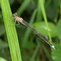 Blue-tailed Damselfly (pink variant)