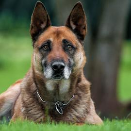 Sato by Sandro Ortolani - Animals - Dogs Portraits ( watching, waiting, ecva, german shepherd, luxembourg )