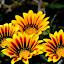 by Saptarshi Datta - Flowers Flower Gardens ( nature, yellow, flower,  )