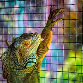 Big Iguana in Penyu Island by Indrawan Ekomurtomo - Animals Reptiles