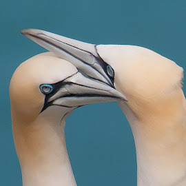 Gannets in Love by Jill Wilson - Animals Birds ( gannets, gannet, courting gannet, bempton, seabird )