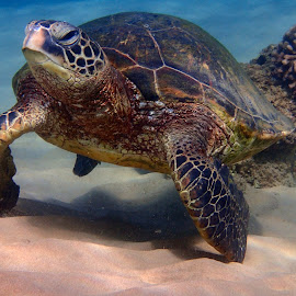 dancing Honu by Tatiana Gonnason - Animals Sea Creatures