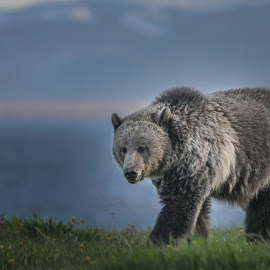 Yellowstone Grizzly by Monte Miles - Animals Other Mammals