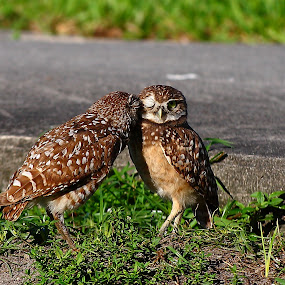 Brother Owl by Pablo Barilari - Animals Birds ( owl, bird couple, birds )