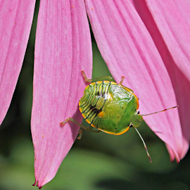 Southern Stink Bug by Stardust Designs - Animals Insects & Spiders ( stinkbug, stink, petals, green, yellow, insect, echinacea, bug, coneflower, pink, garden, flower, petal )