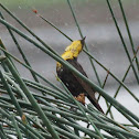 Yellow-headed Blackbird (juvenile)