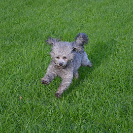 toy poodle silver by Maureen Slough - Animals - Dogs Running ( #ilobsterit )