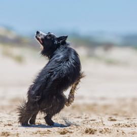 Foccused by Clive Wright - Animals - Dogs Playing ( playing, canine, collie, play, beach, border, dog )