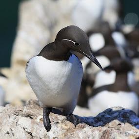 guillemont by Jozef Svintek - Animals Birds ( bird, guillemont, ireland, irelands eye, rock, birds,  )