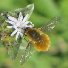 Large beefly