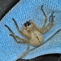 Golden Huntsman Spider