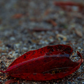 Red Leaf, Water Cup2 by Greg Head - Nature Up Close Leaves & Grasses ( sand, red, blurred background, leaf, light ray,  )