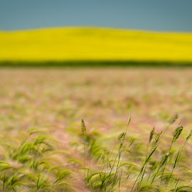 Prairie Grass by Tracy Munson - Landscapes Prairies, Meadows & Fields ( countryside, canola, grass, agriculture, landscape, prairie, rural, field, farm, barley, nature, saskatchewan, grain, grasslands, meadow, flowers )