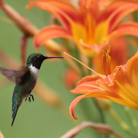 Flying Color by Karin Pelton - Animals Birds ( orange, flying colors, hummingbird, springtime, flower, Spring, outdoors )