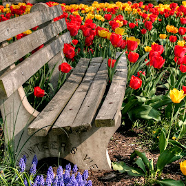 Abducted Park Bench by Gene Walls - City,  Street & Park  City Parks ( flower garden, bench, park, colors, green, williamsport, pennsylvania, tulips, city park, spring, chair, red, nature, blue, rest, flowers,  )