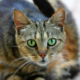 Cat's Eyes by Gavin Black - Animals - Cats Kittens
