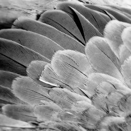 by Ana Cárdenas O - Abstract Macro ( bird, abstract, macro, black and white, feathers,  )