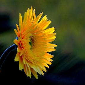 Yellow Daisy Gerbera by Ivy Luna - Flowers Single Flower ( #single flower, #yellow daisy, #gerbera, #flower, Lighting, moods, mood lighting,  )