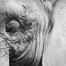 The face of an elephant by Ruth Holt - Novices Only Wildlife ( benidorm, ear, elephant, safari, aitana, spain, eye )