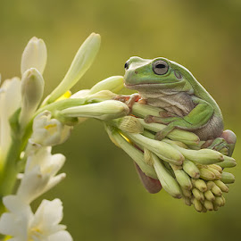 Nangkring by Hendrik Susanto - Animals Amphibians ( frog#flowers#animal#macro )