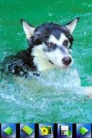 Screenshot of Husky Dog wallpaper
