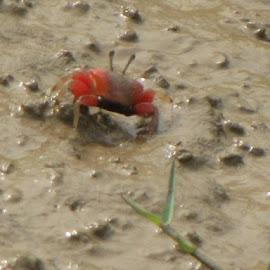 red crabe by Janya Basu - Animals Other