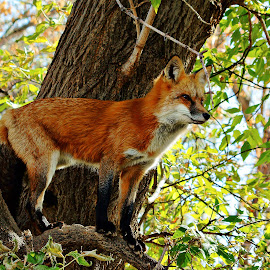 Up in a Tree by Dustin White - Animals Other Mammals ( red, fox, tree, mammal, red fox )